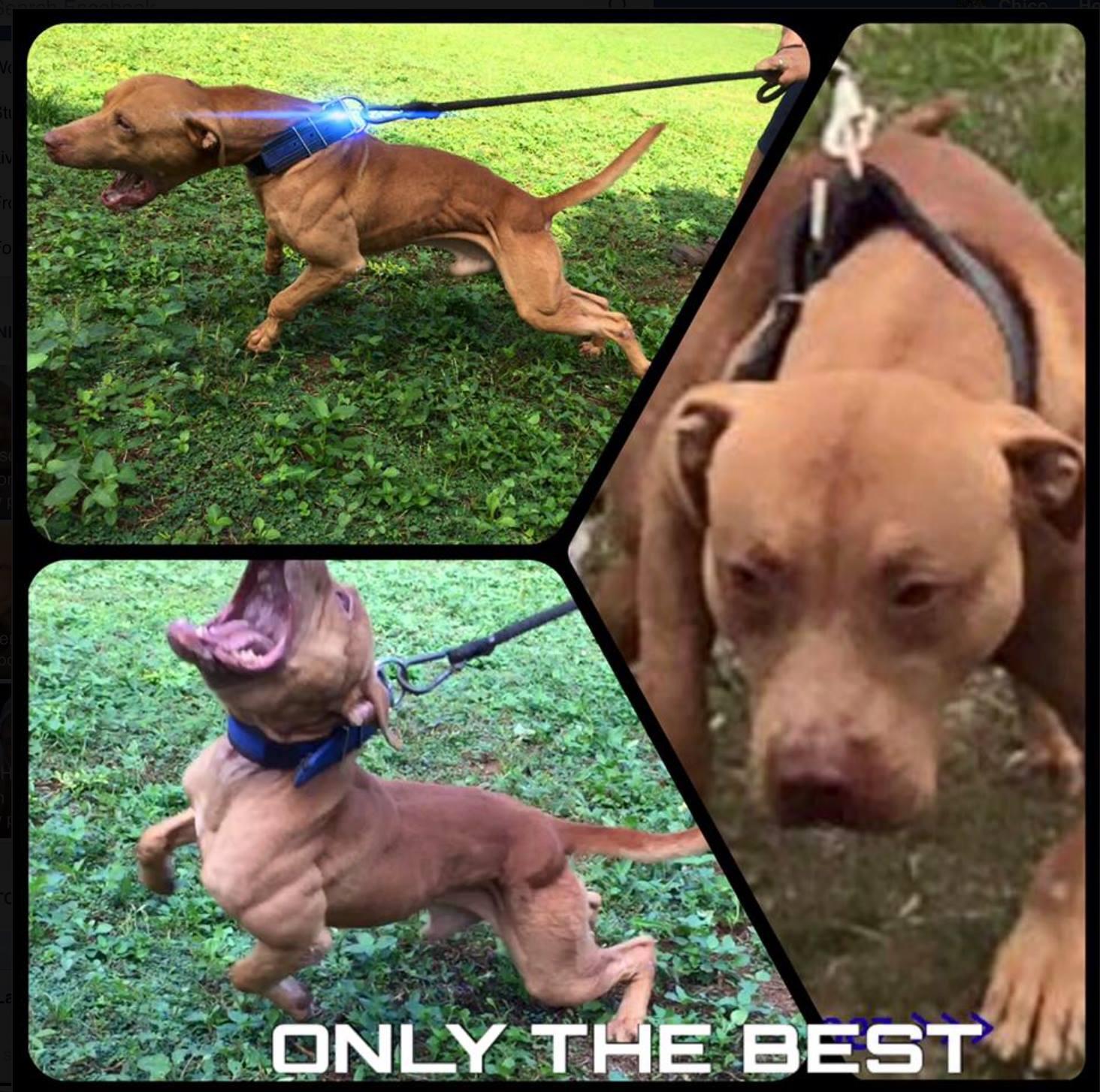 Pitbull puppies, Gr ch Mayday ROM , American pit bull