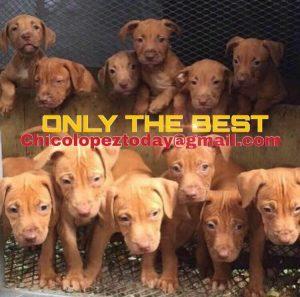 Pitbull puppies, Gr ch Mayday ROM, ADBA,