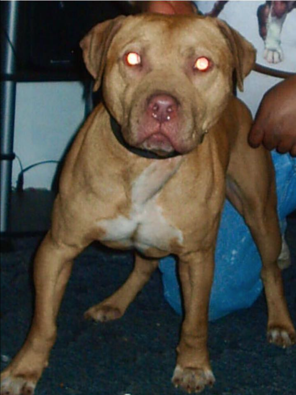 Frozen Semen - Pitbull, pitbull puppies,ADBA, APBT,Puppies, Gr Ch