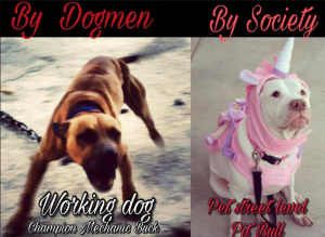 The Real APBT vs The society pitbull ( Petbull)